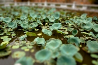 Lotus flowers, Văn miếu – Temple of Literature, Hanoi
